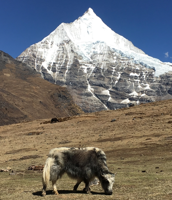bhutan mountain cow